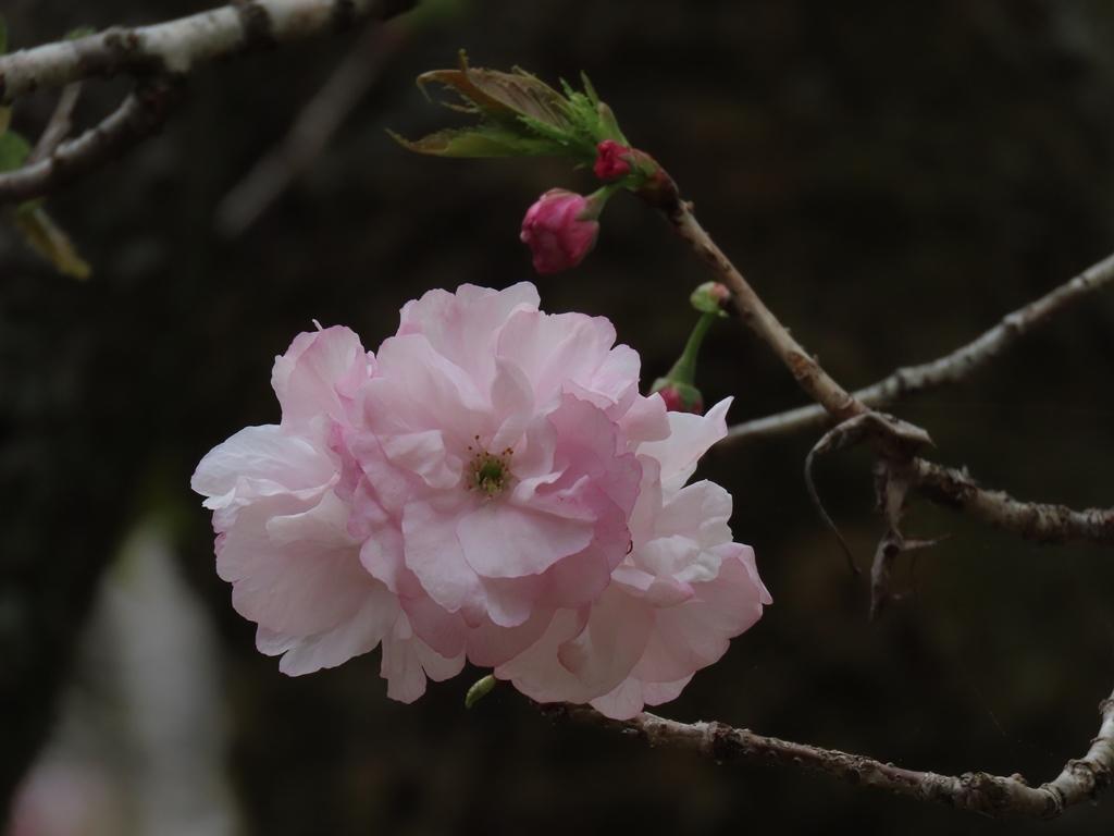 「福禄寿(フクロクジュ)」という名の桜