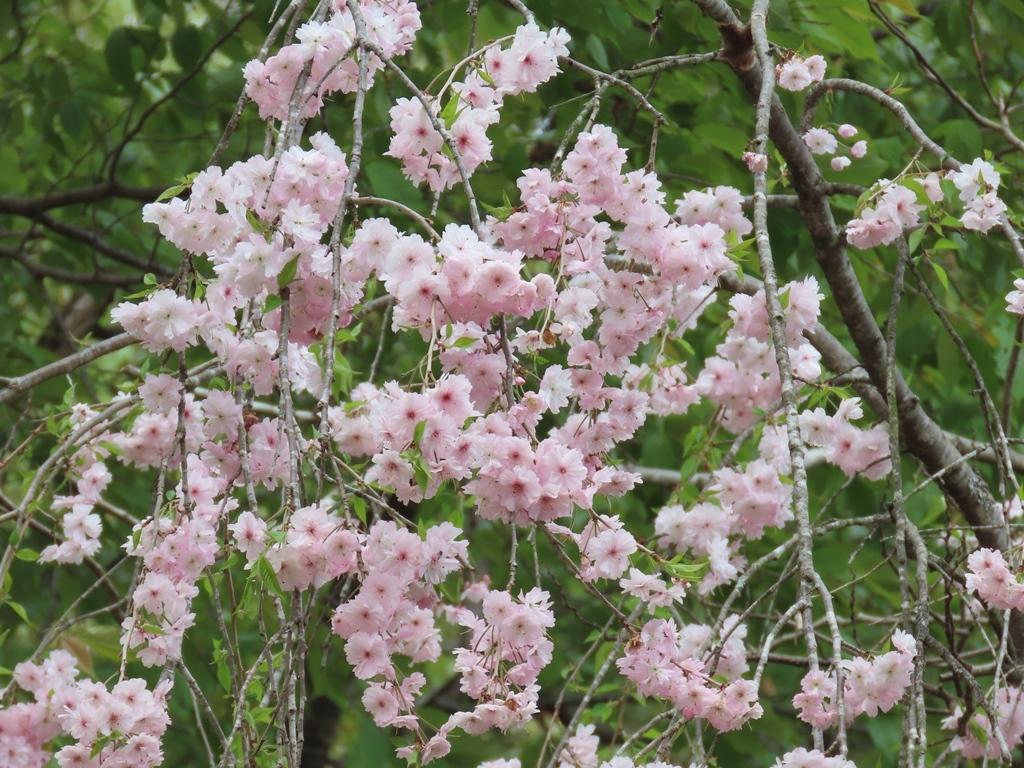 「雨情枝垂(ウジョウシダレ)」という名の桜