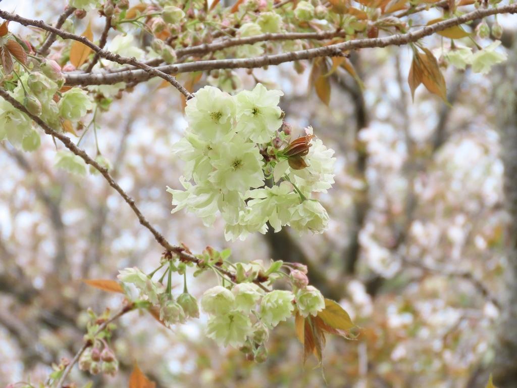 「鬱金(ウコン)」という名の桜