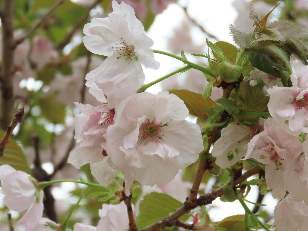 「大提灯(オオヂョウチン)」という名の桜
