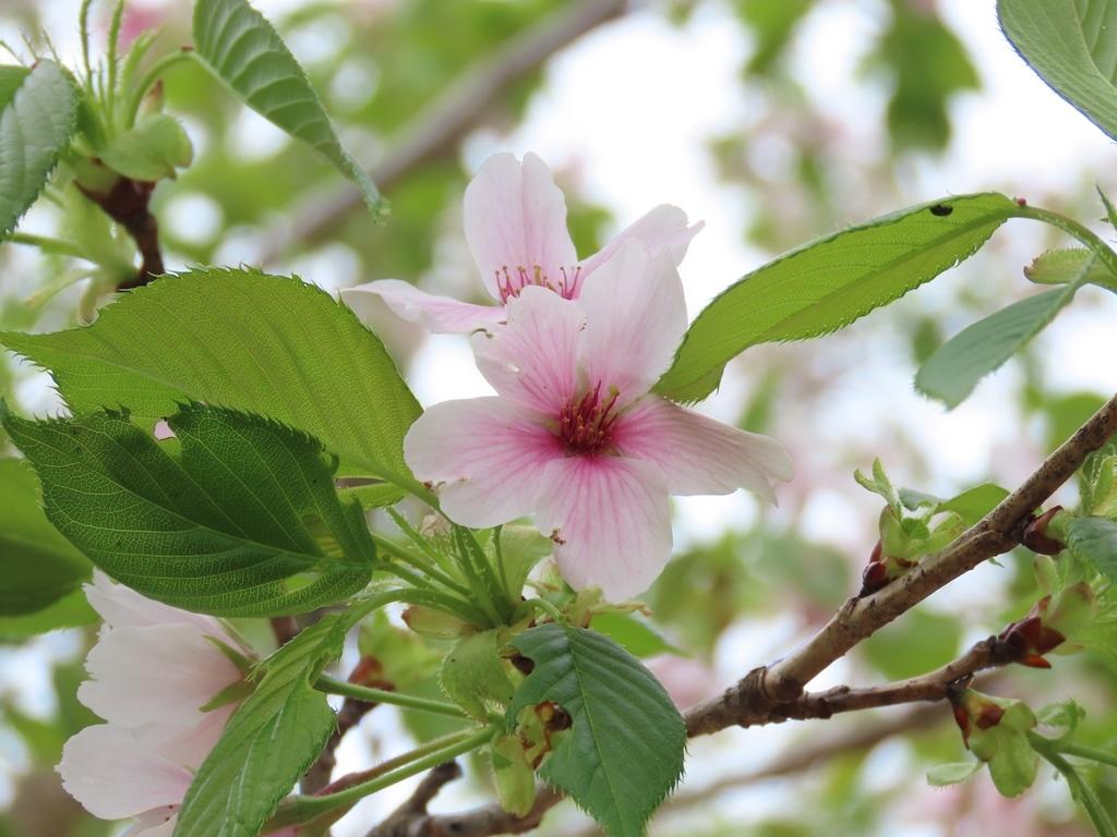 「浪速桜(ナニワザクラ)」という名の桜