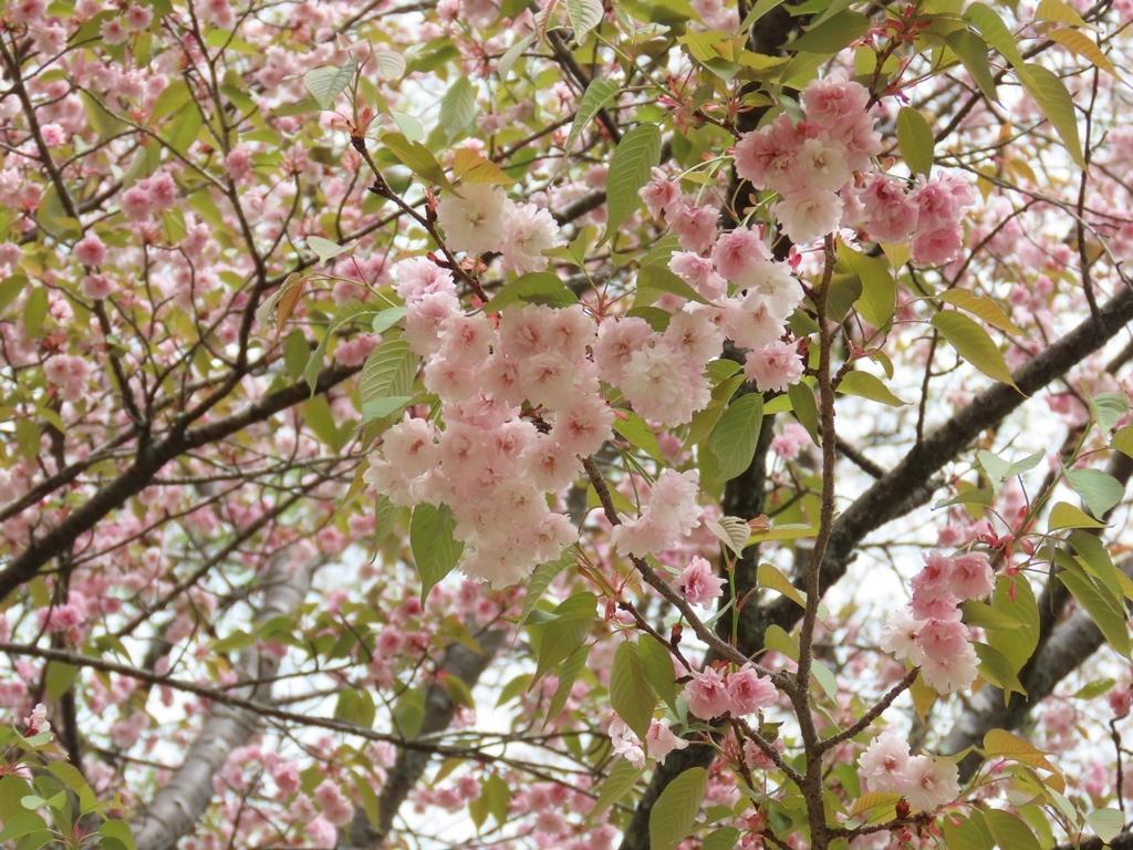 「木の花桜(コノハナザクラ)」という名の桜