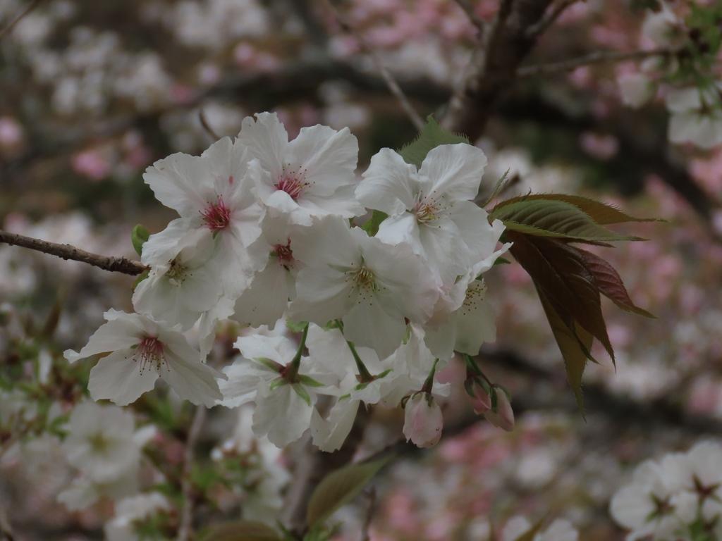 「駒繋(コマツナギ)」という名の桜