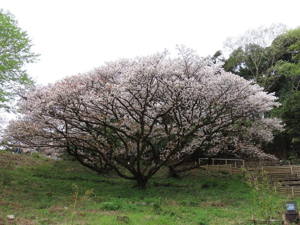 「御室有明(オムロアリアケ)」という名の桜