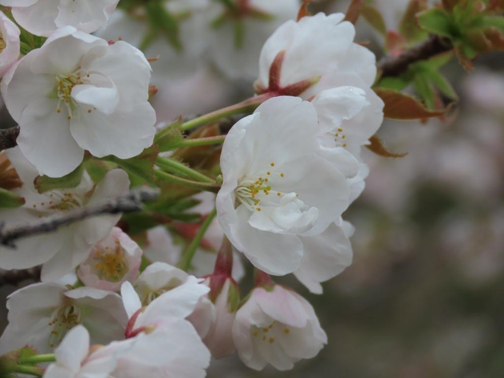 「帆立(ホタテ)」という名の桜