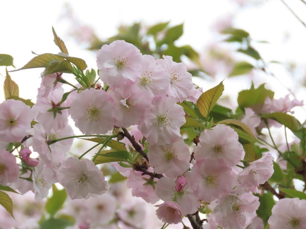 「従二八重桜(ジュウニヤエザクラ)」という名の桜