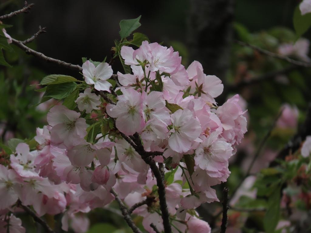 「御車返(ミクルマガエシ)」という名の桜