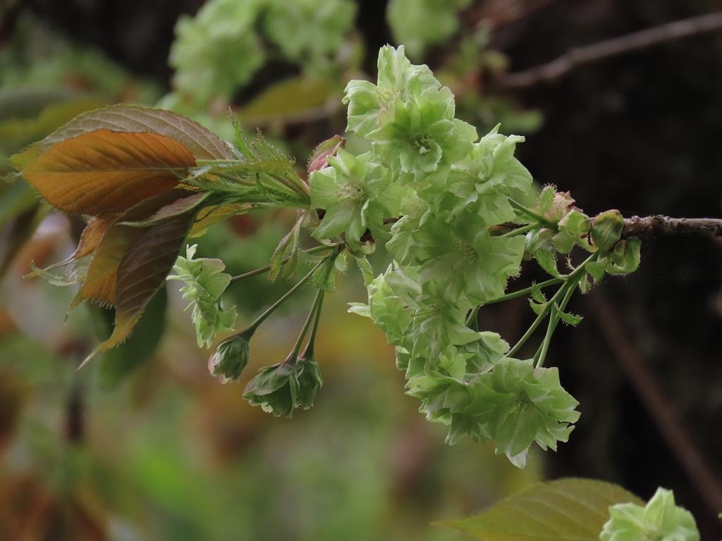 「御衣黄(ギョイコウ)」という名の桜