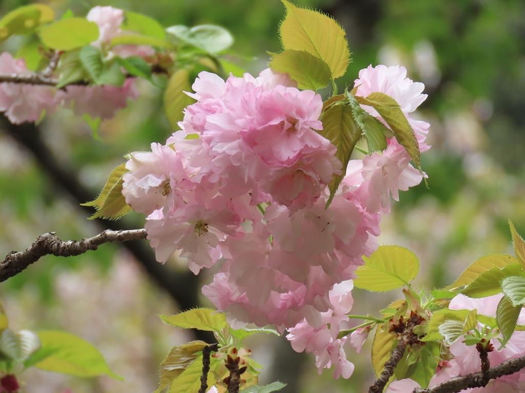 「京都の糸括(イトククリ)」という名の桜