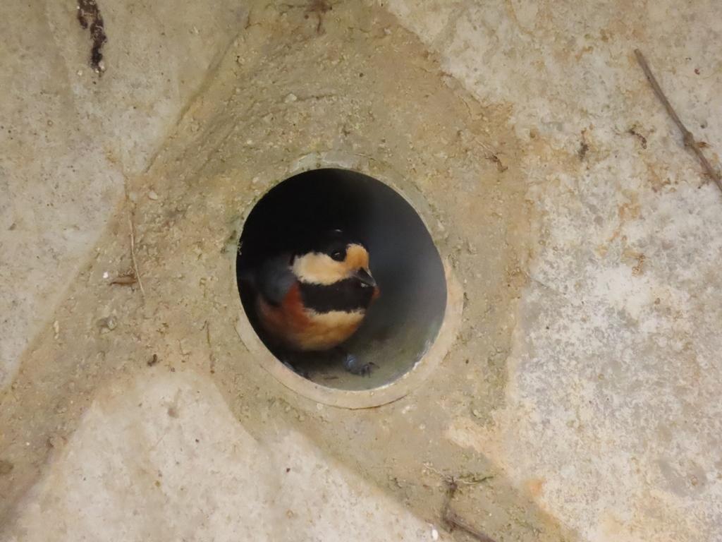 擁壁の水抜き穴に巣を作った山雀(ヤマガラ)