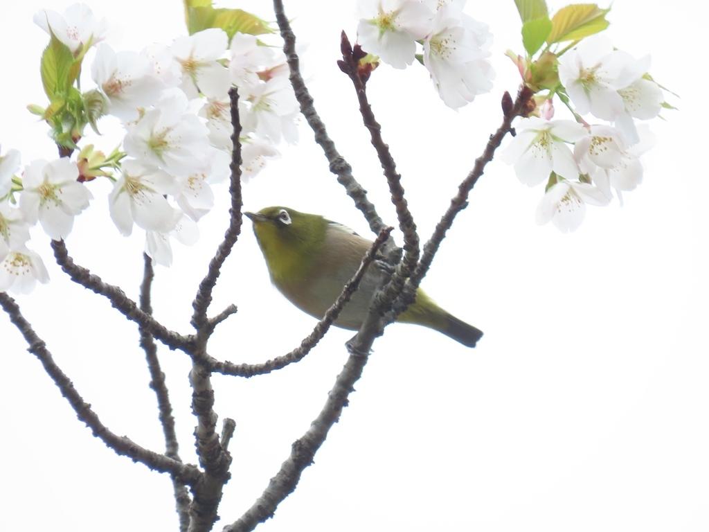 桜の花の蜜を吸いにきた目白(メジロ)その1
