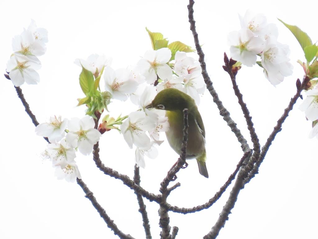 桜の花の蜜を吸いにきた目白(メジロ)その2