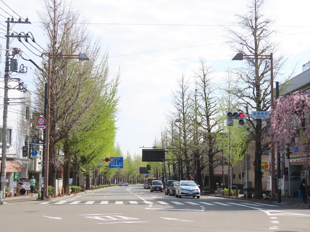 甲州街道の銀杏(イチョウ)並木の新緑