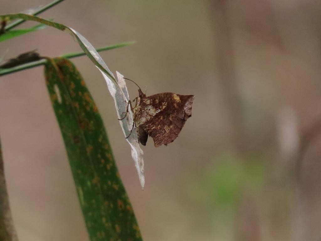 枯葉のような模様の蝶(名前は分からず)