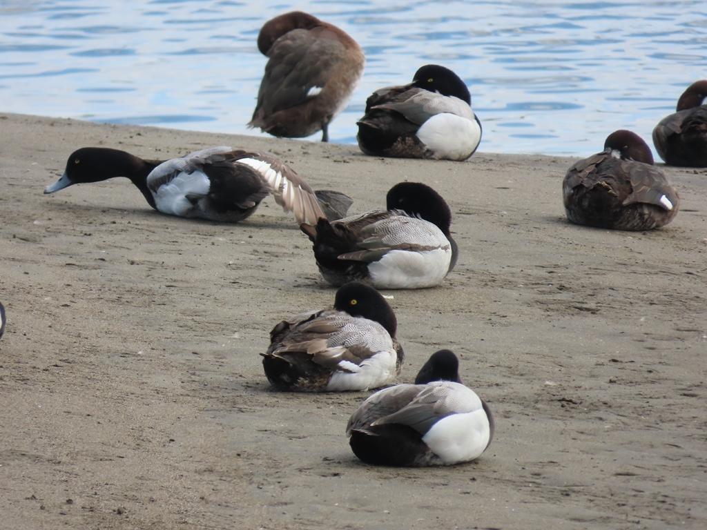砂浜でお休み中の鈴鴨(スズガモ)の群れ
