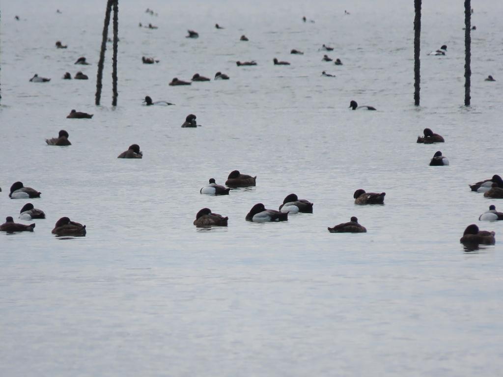 沖合いでプカプカする鈴鴨(スズガモ)の群れ