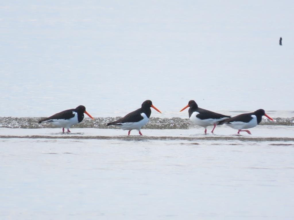 潮が引いた渚に飛んできた都鳥(ミヤコドリ)