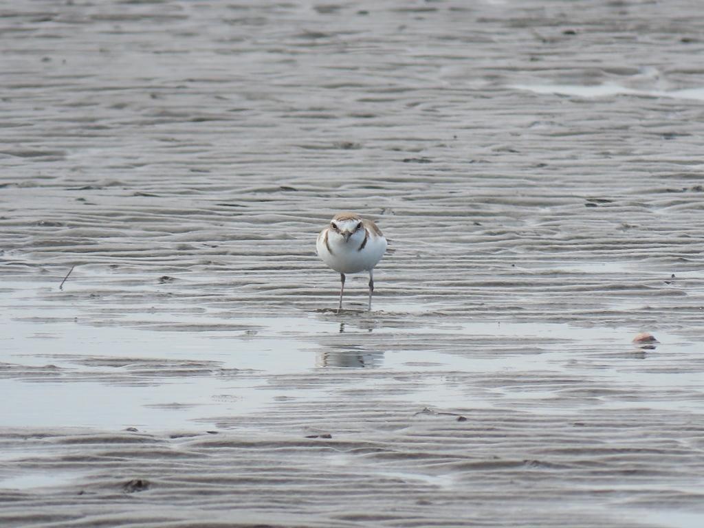 こっちを向いた白千鳥(シロチドリ)