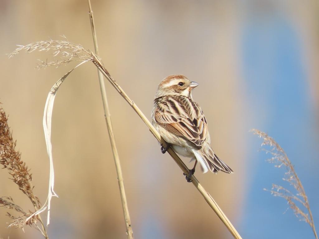 まだ冬羽の大寿林(オオジュリン)その2