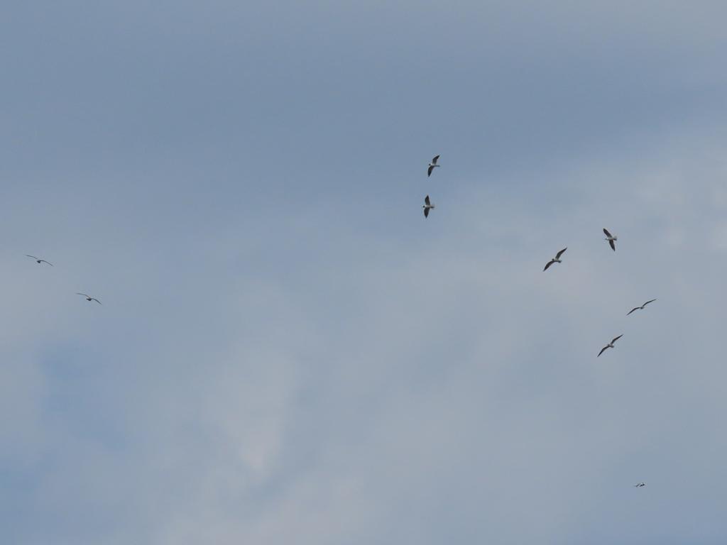 空を舞う(頭が黒い夏羽の)百合鷗(ユリカモメ)