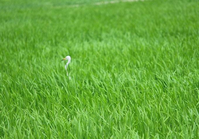 白鷺の首2