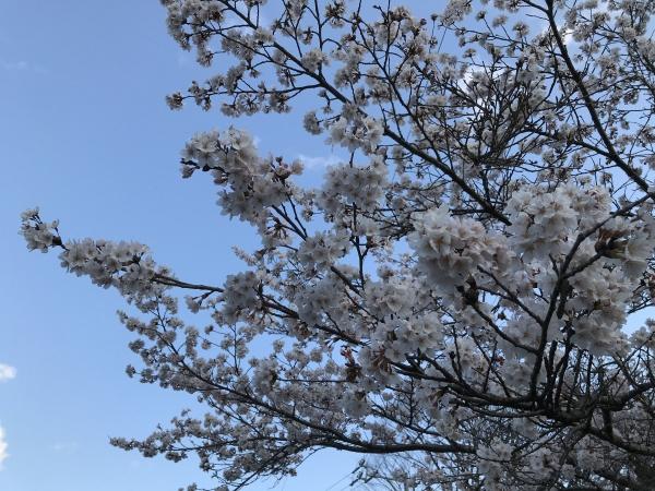 200410-朝のお花見03