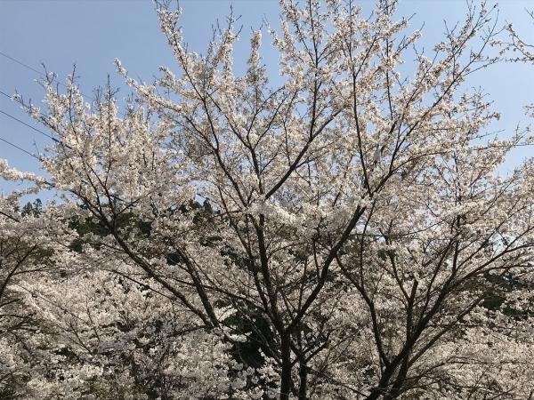 200416-牧戸の桜02