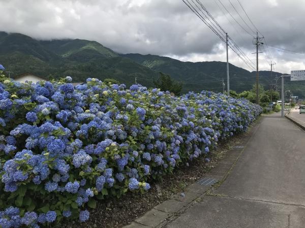 200624-国道沿いの紫陽花