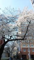 2020大塚北口診療所の桜