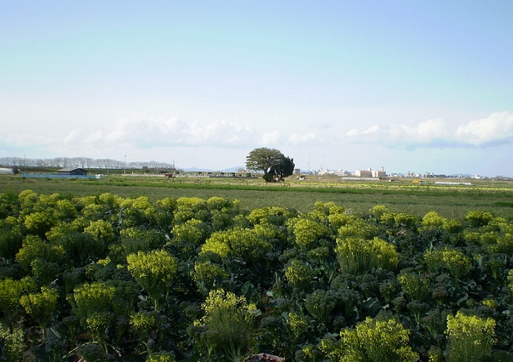20200313ブロッコリ畑
