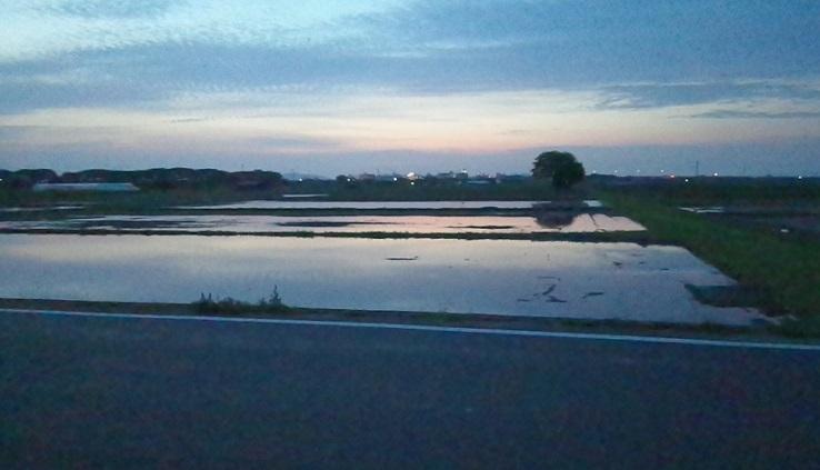 ブロッコリ畑は水田になりました