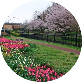 2 チュウリップ畑 と桜