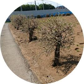 10 桑の木