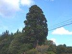 フリー素材 相善杉 / Souzen cedar free images(北秋田市) サムネイル画像