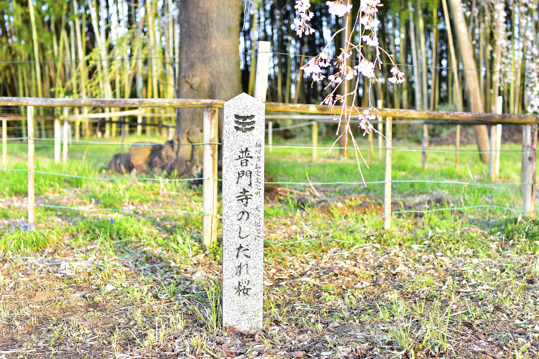 普門寺の枝垂れ桜石碑
