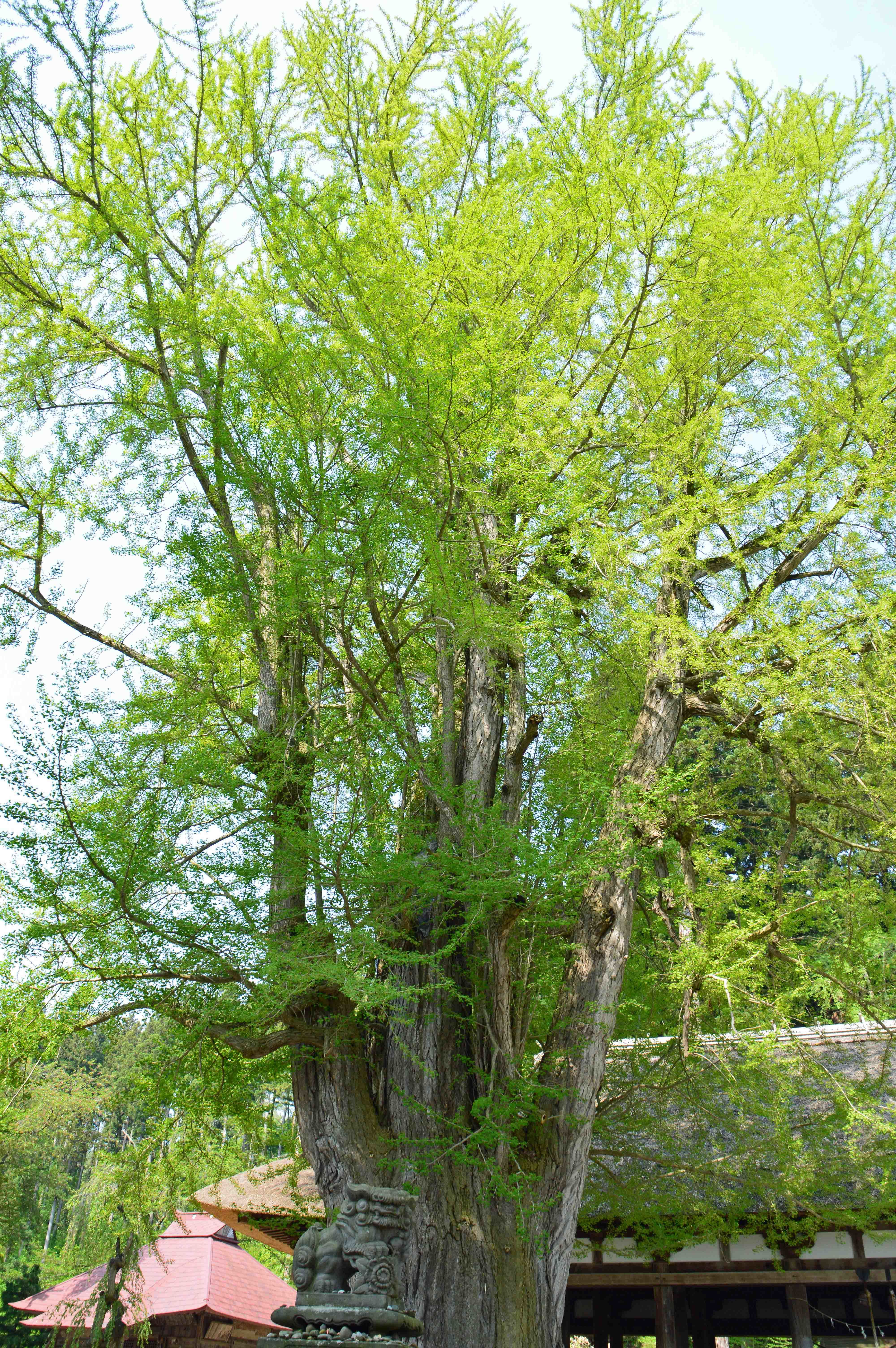 大イチョウ樹齢800年