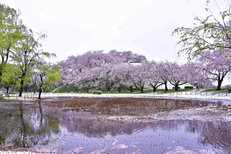 丸墓山 散り行く桜と雪