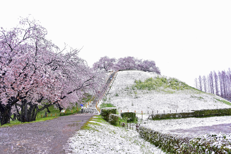 雪降る丸墓山古墳と桜