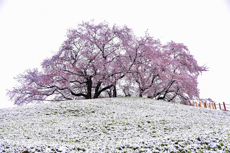 丸墓山と桜と雪
