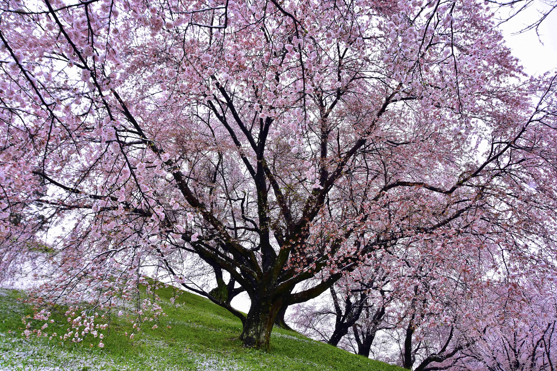 丸墓山麓の桜と雪