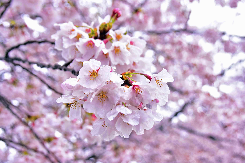 丸墓山の桜