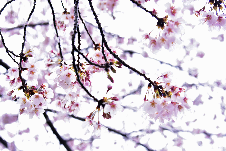 雪と桜2 忍城