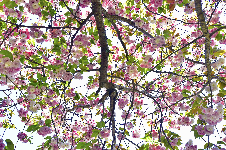 まだ咲く八重櫻