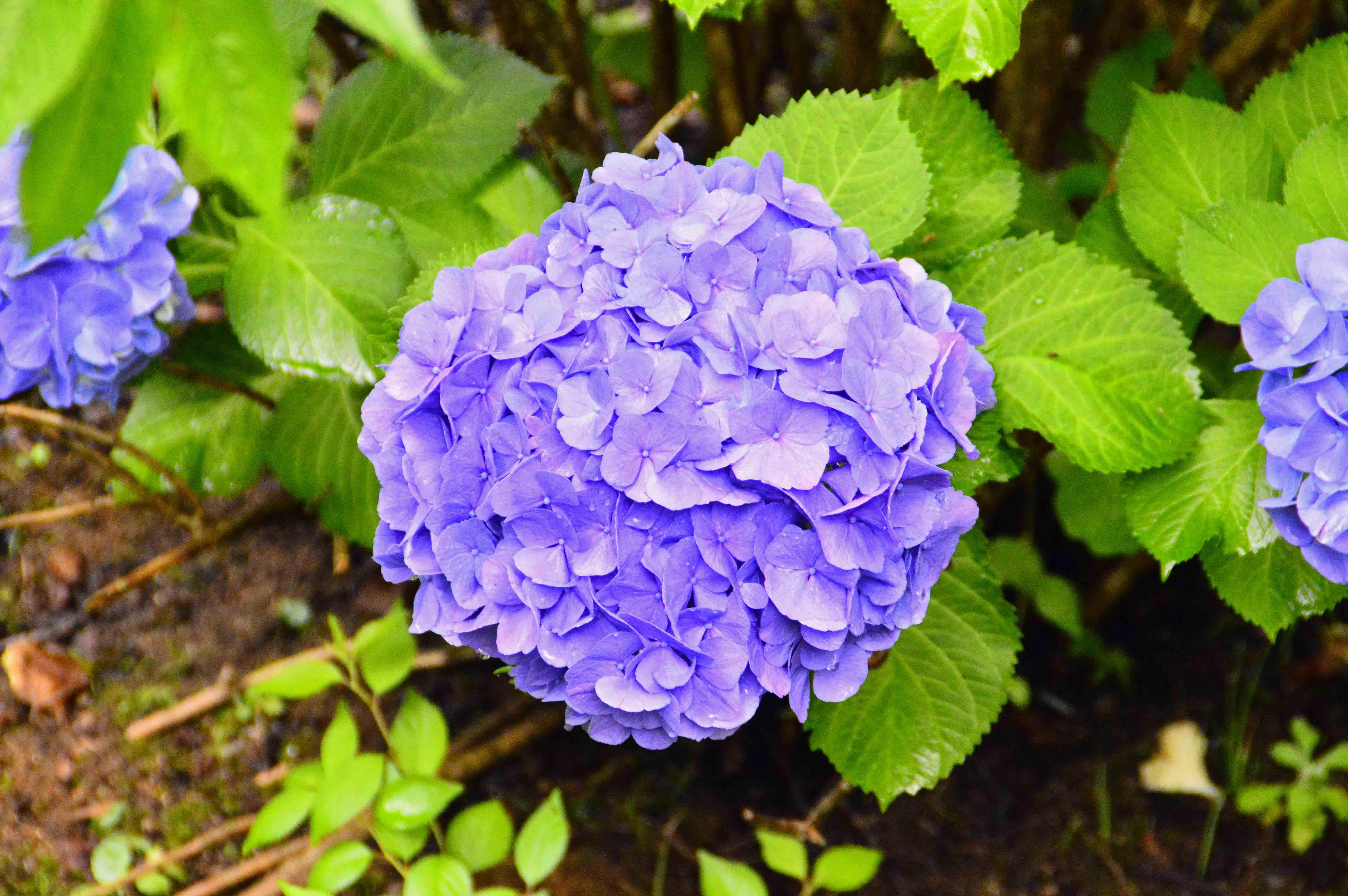 7紫陽花1