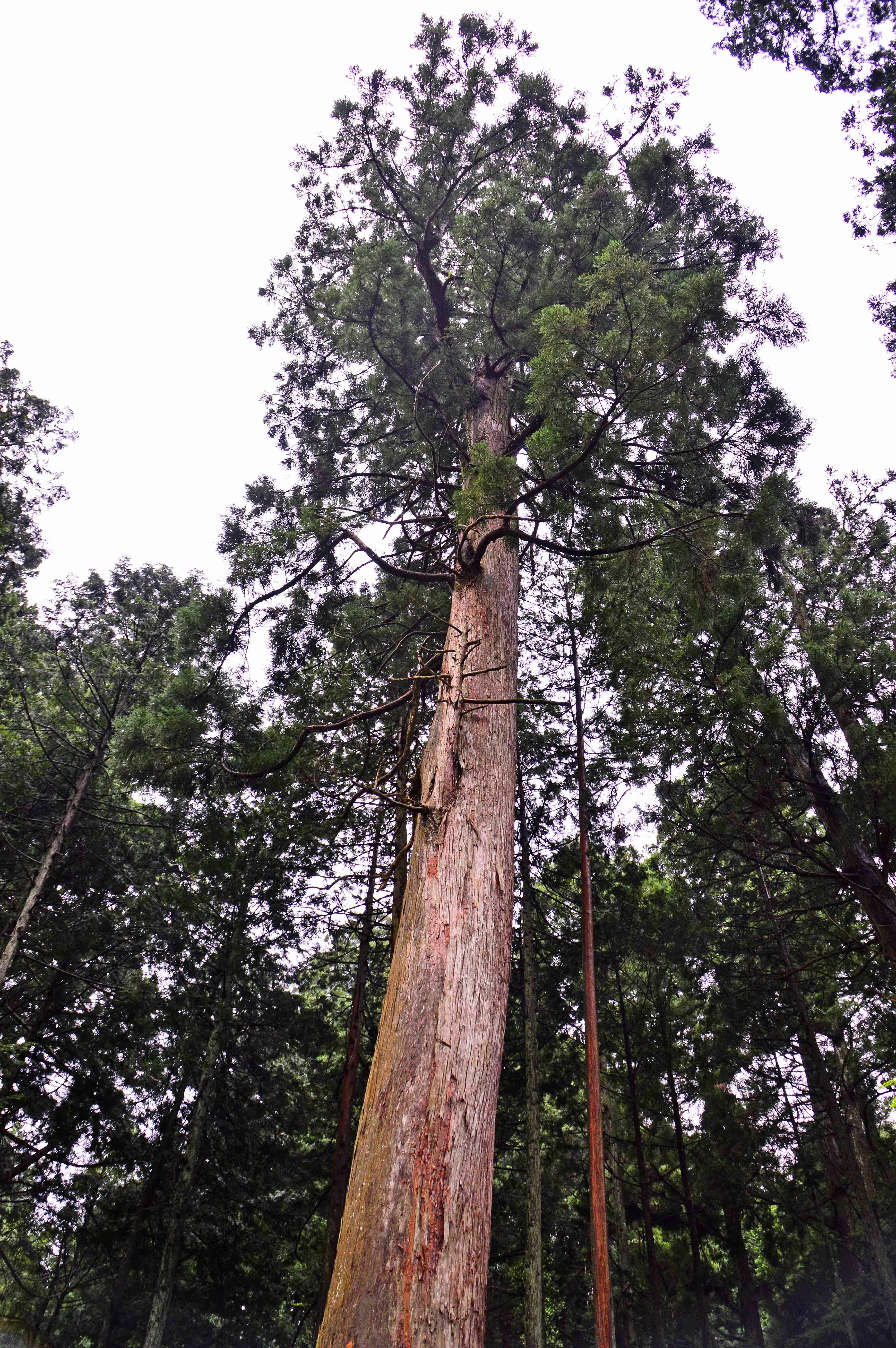 8熊野杉2