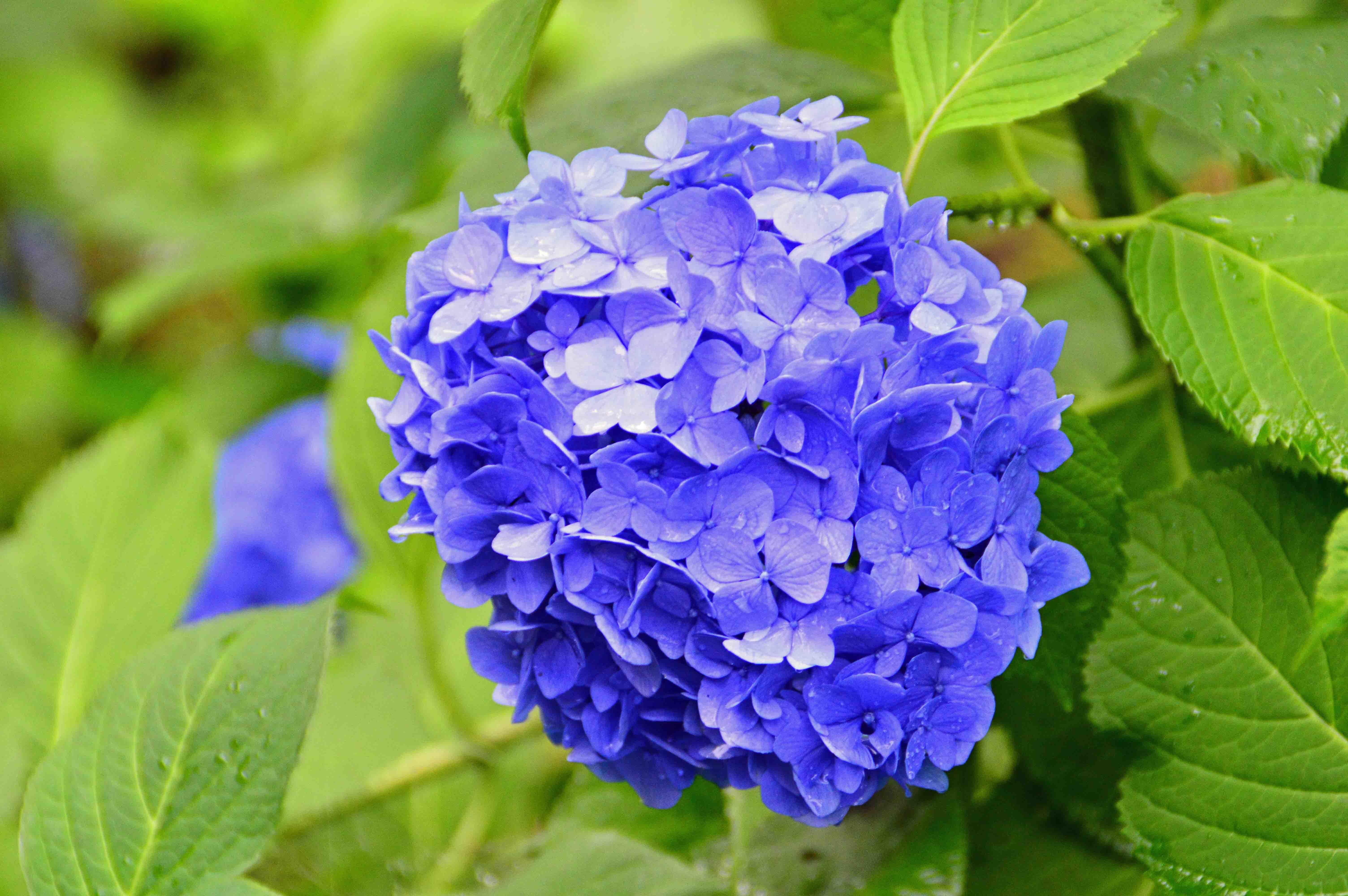14紫陽花2