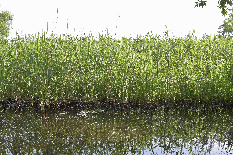 浮野の里 自生する葦
