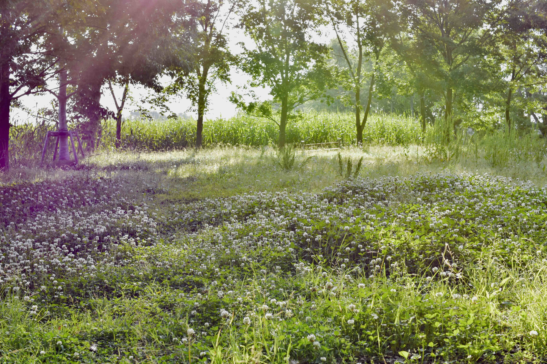 浮野の里 蓮華草