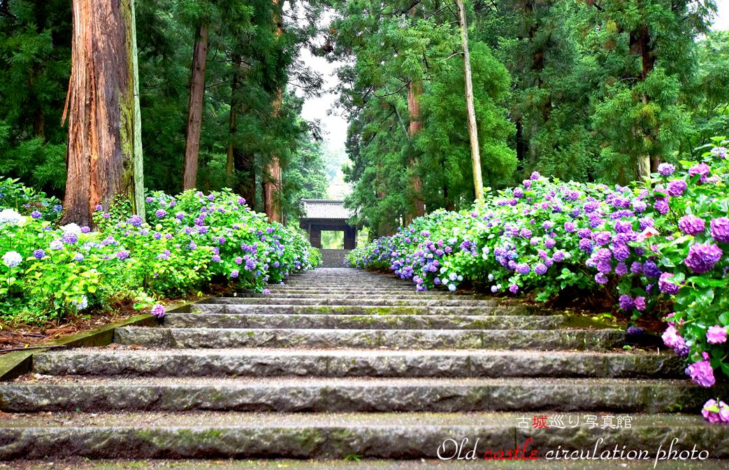 大中寺の参道と紫陽花