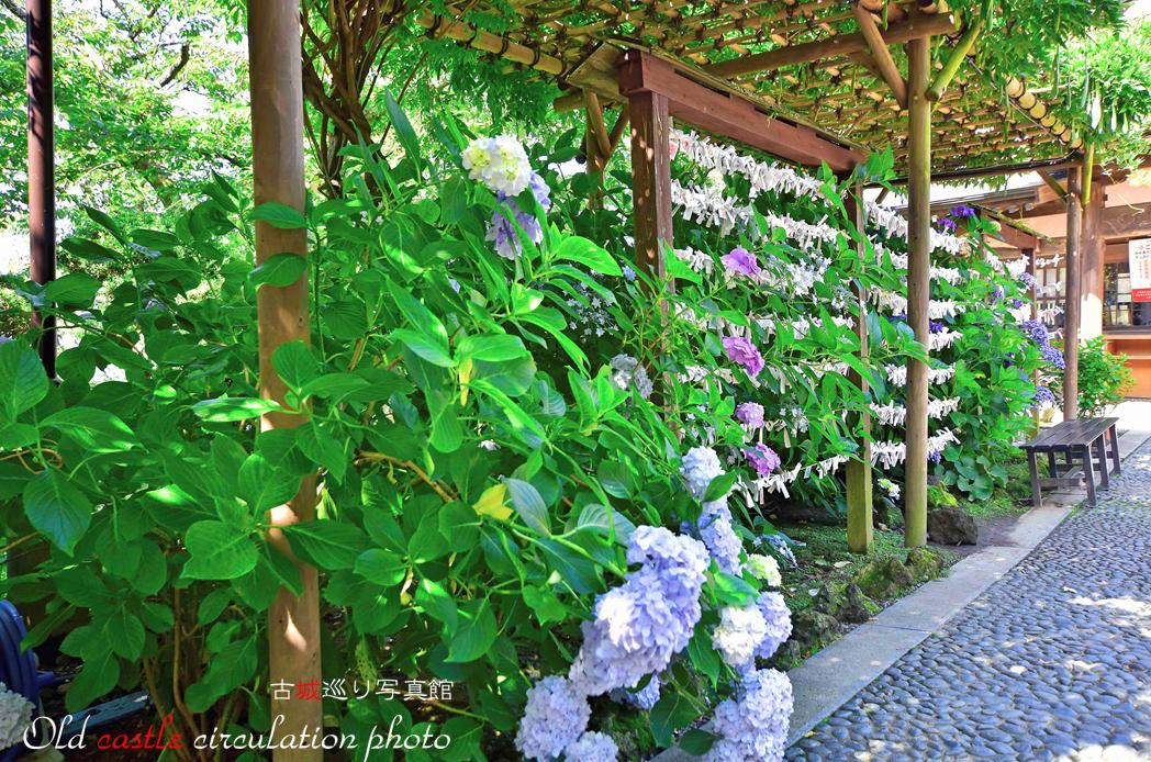 雨引 紫陽花とおみくじ